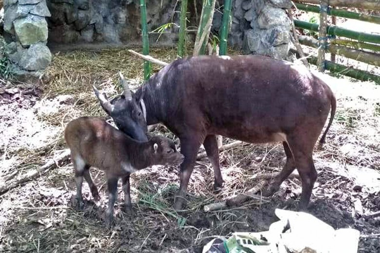 Where are the anoas? Central Sulawesi's midget buffaloes no longer in sight
