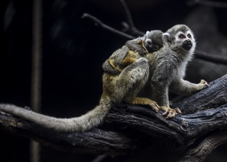 Colombian zoo celebrates birth of endangered spider monkey