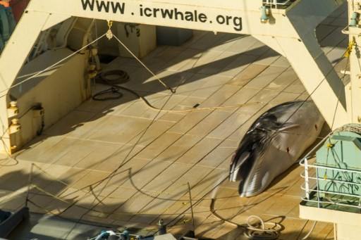 Japan on brink of IWC pullout after commercial whaling comeback blocked