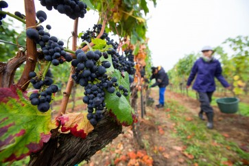 Climate change hits Germany, and winemakers couldn't be happier