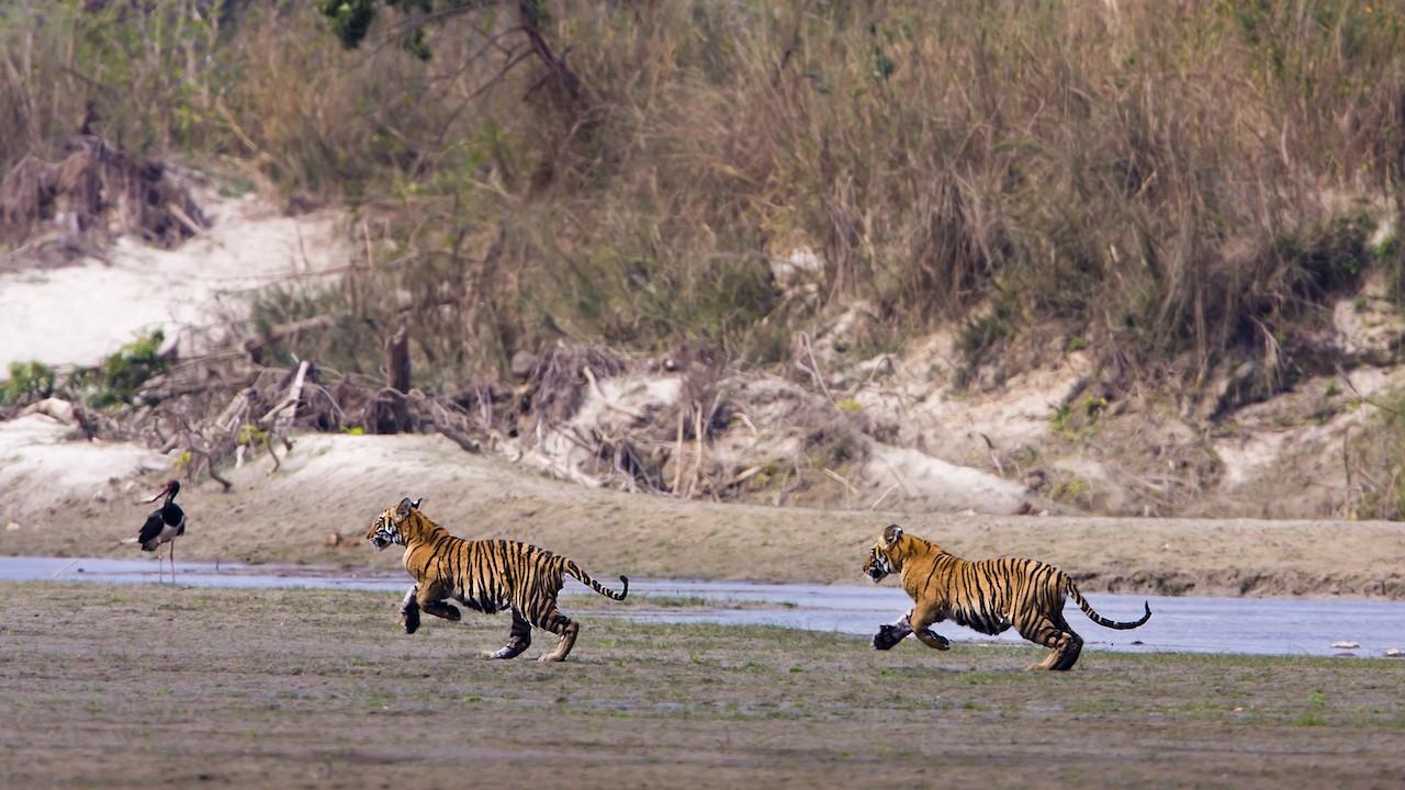 Tigers dwindling: Just six sub-species remain, says study
