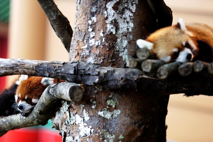 Red pandas can also be found in the Panda Castle.