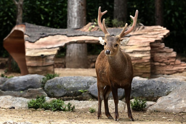 A bawean deer roams freely inside the safari park.