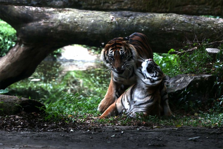 Sumatran tigers play with each other.