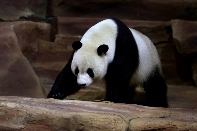 Cai Tao is one of the two pandas currently living in Indonesia.