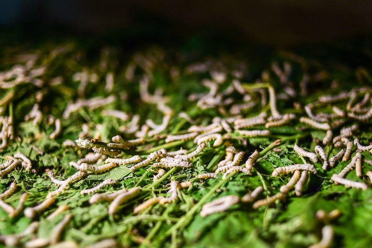 Young silk worms eating mulberry leaves in a silk factory in Rajshahi.