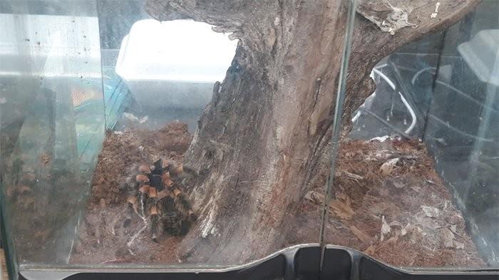 TMII to auction off tarantula to raise money for Palu