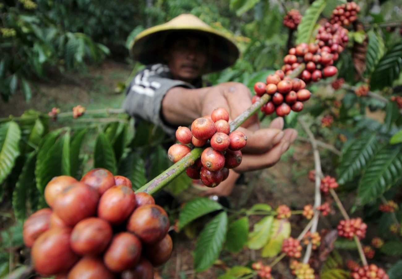 A farmer checks the ripeness of coffee fruit, which are also called berries.