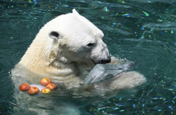 South Korea's last polar bear dies ahead of British retirement
