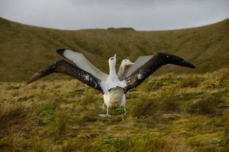 Giant mice threaten rare seabirds on remote British island