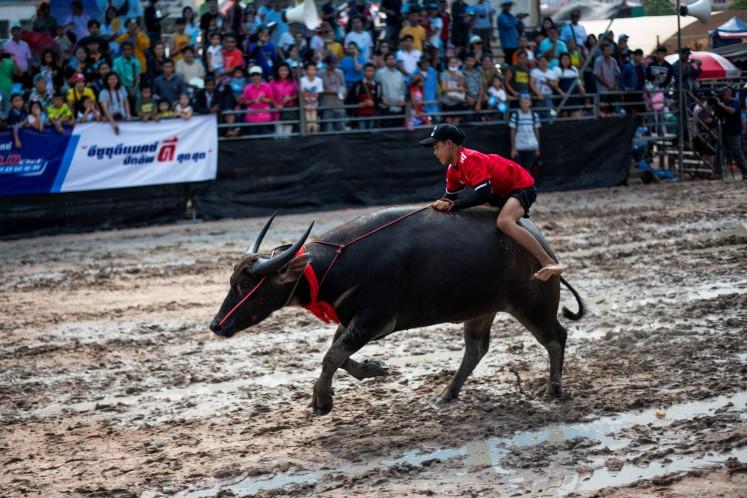Buffaloes plough through annual Thai racing festival - Art