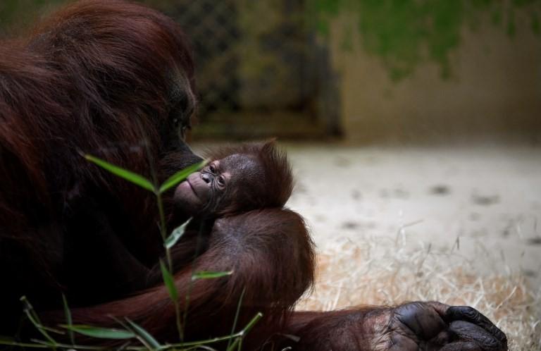 Bayi Java dan induknya Theodora di Kebun Binatang Ménagerie du Jardin des plantes, Prancis | AFP/Eric Feferberg)