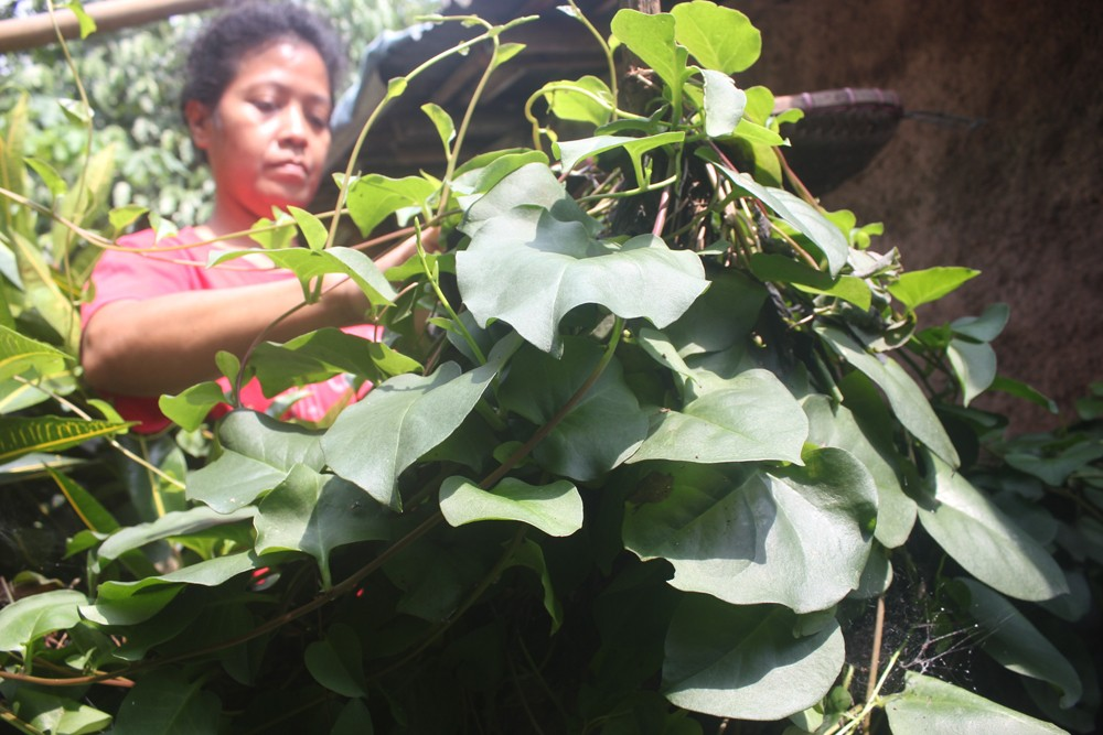 Medicinal herbs underdeveloped, says ministry