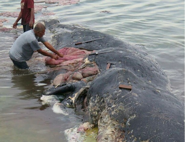 6 kg of garbage found in dead whale's stomach in Wakatobi