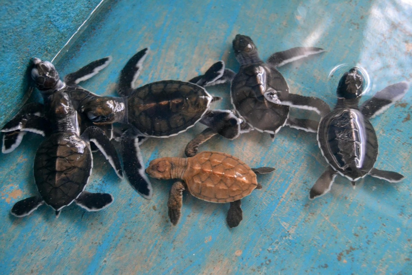 A brown scale turtle is among green turtle hatchlings before they are released to the sea. JP/Severianus Endi