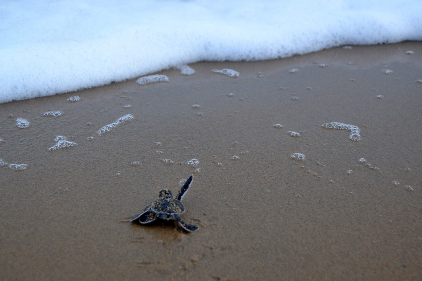 A green turtle hatchling tries to reach the water at the beach. JP/Severianus Endi