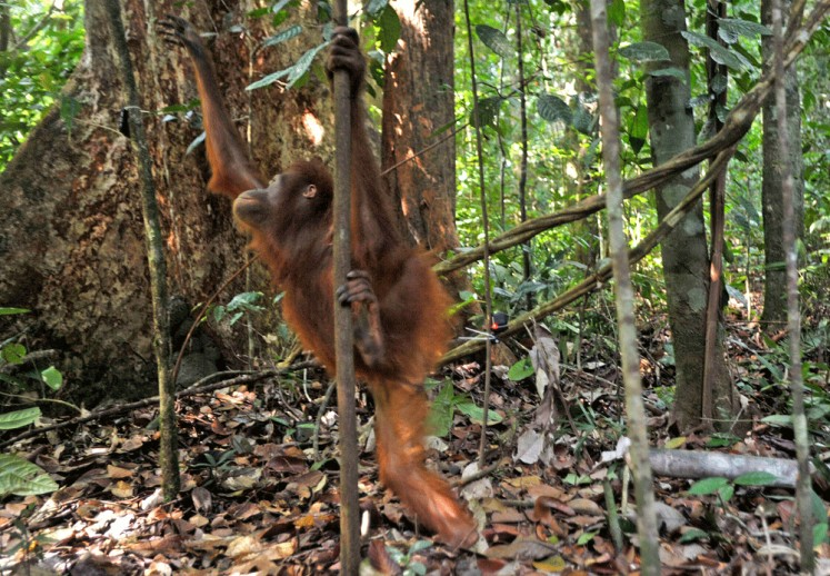 If we lose orangutans, we will lose forest too