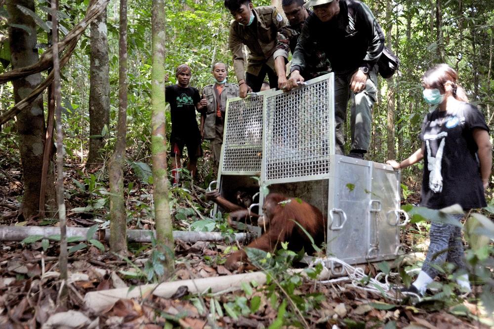 Climate change and future of orangutans