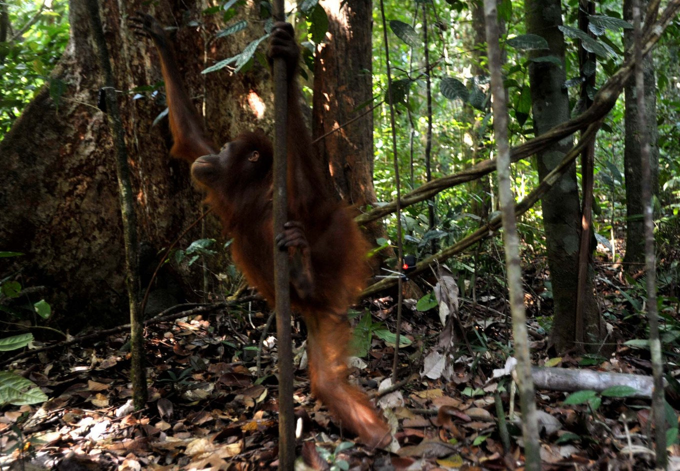 Freedom: A rescued orangutan begins climbing a tree after being released by the IAR team into the wild. JP/Dasril Roszandi