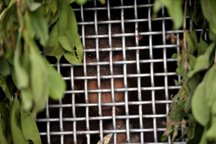Rescued orangutans return  to wildlife freedom