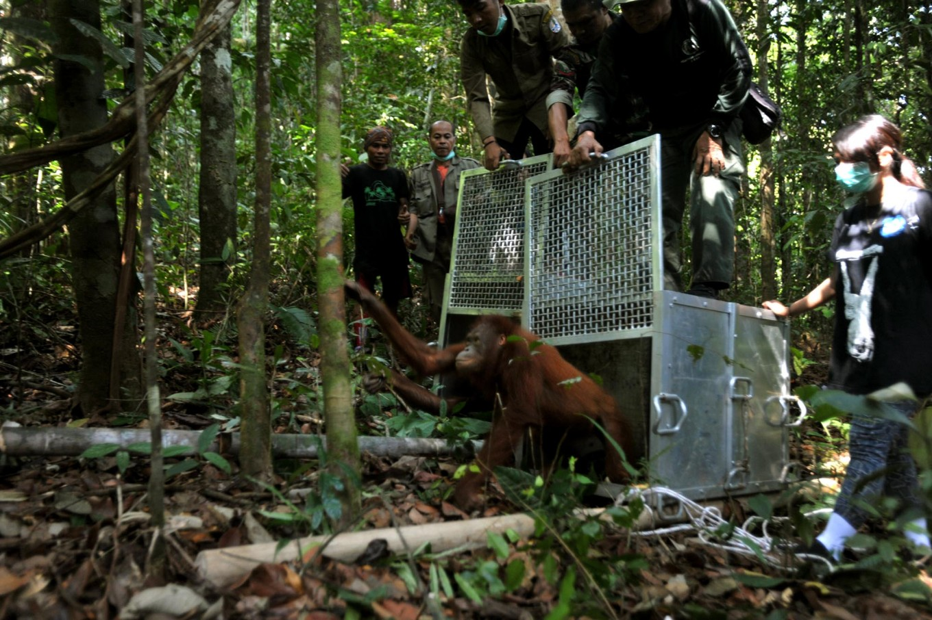 Welcome home: Members of the IAR team open the cage doors and two orangutans begin their first steps back into their natural habitat. JP/Dasril Roszandi