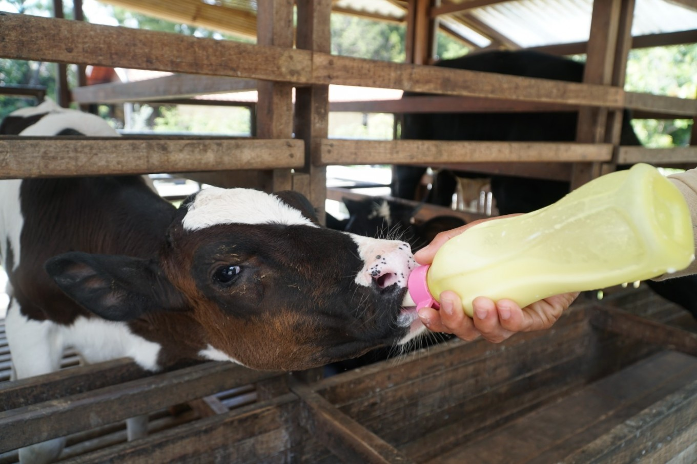 Severe viral diarrhea attacks cattle in Keerom, Papua