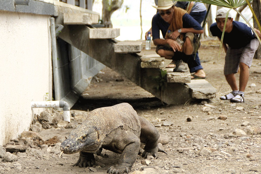 DNA test shows smuggled Komodo dragons not from national park