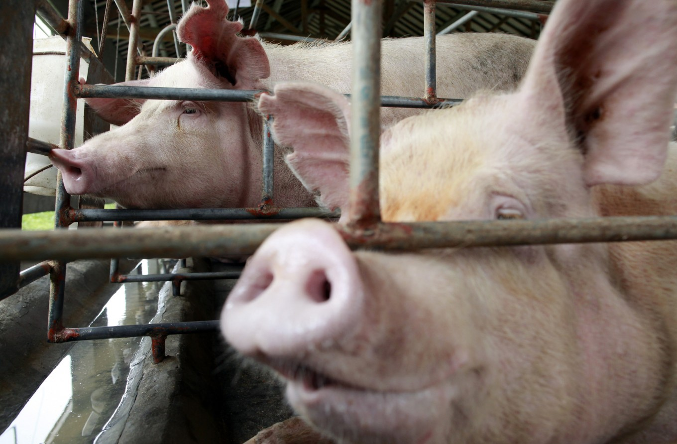ASF outbreak only hit, killing pigs in North Sumatra: Minister