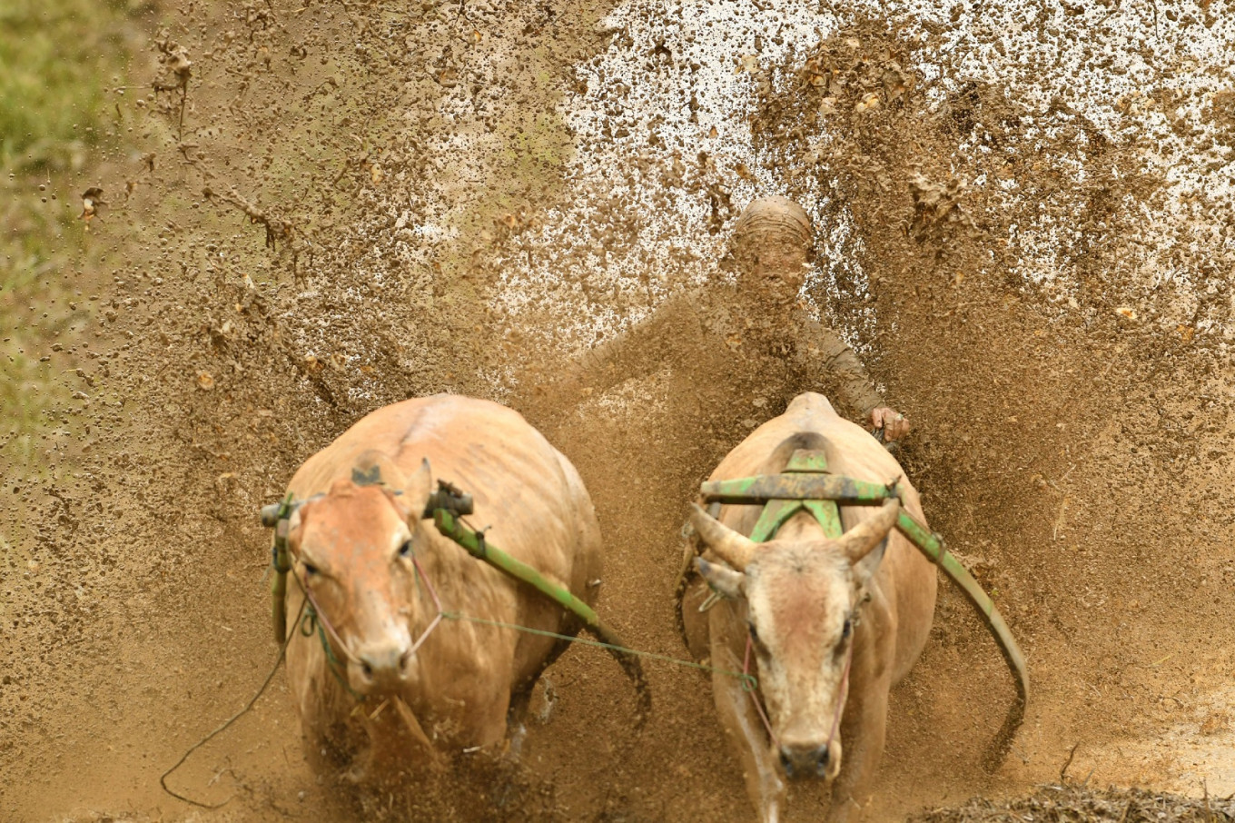 Wet-and-wild ride: Indonesia mud bull races not for faint of heart