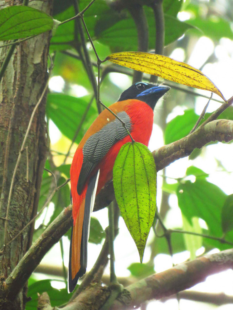 Rare bird: A male scarlet-rumped trogon, one of the resident species at RER Kampar Peninsula, is largely limited to closed-canopy lowland forest.