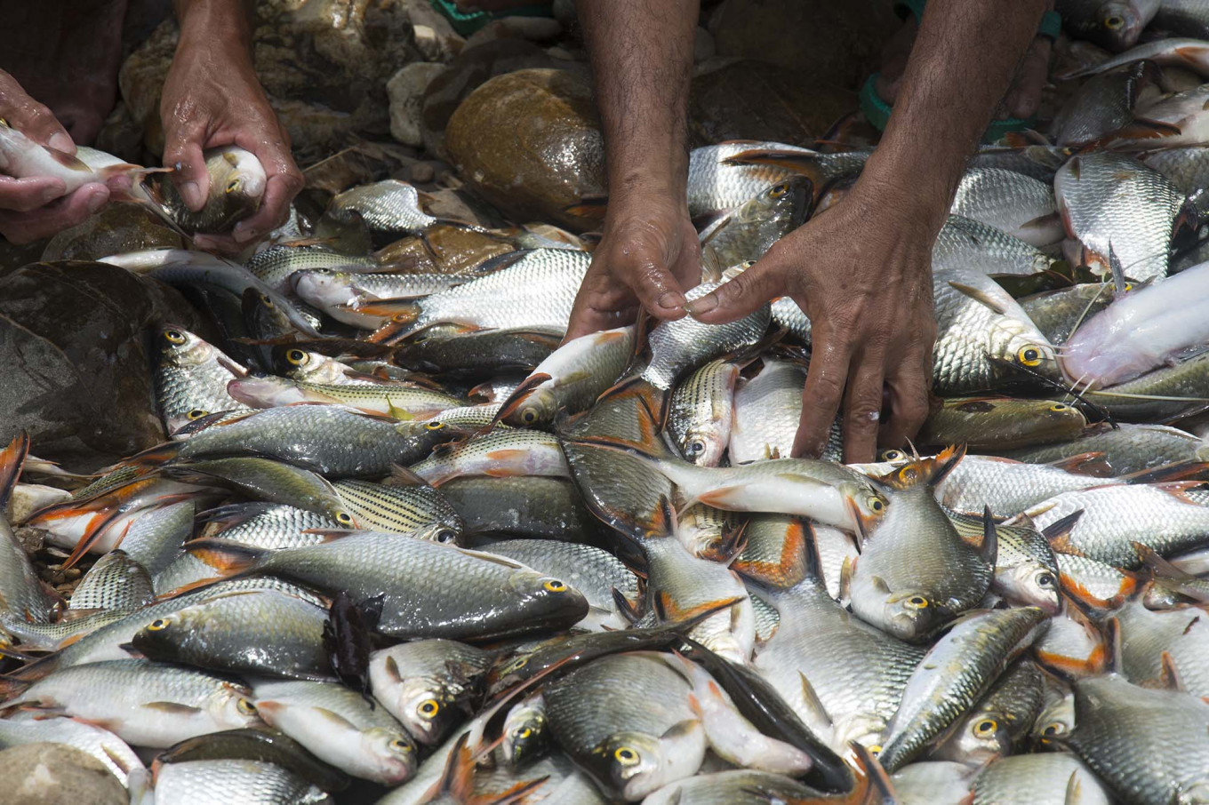 Round-up: Caught fish are sorted by the villagers. JP/Tarko Sudiarno