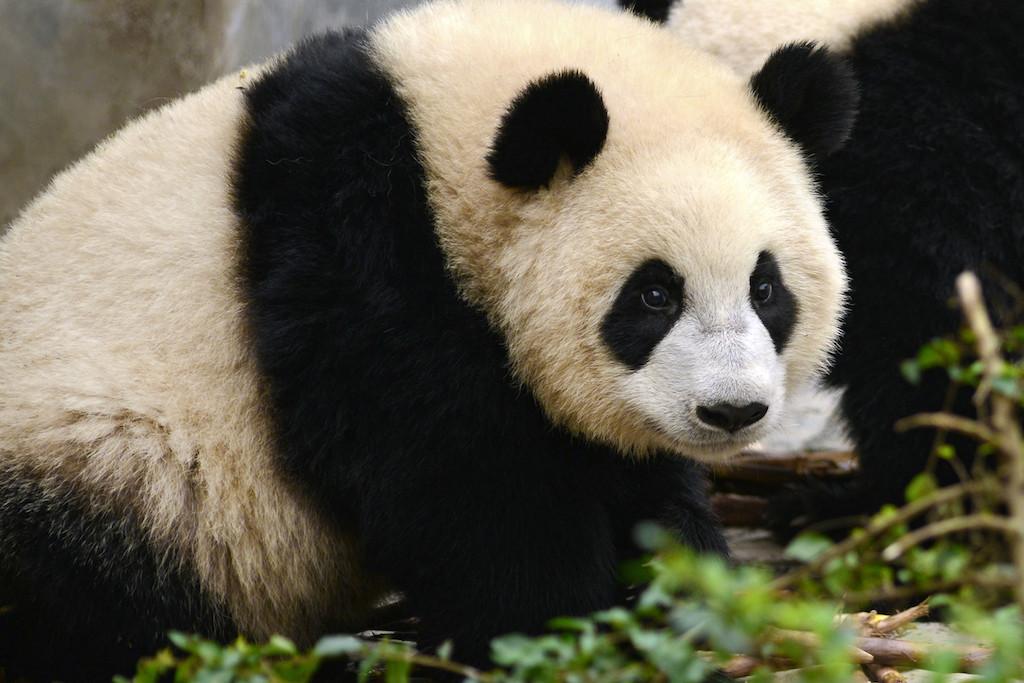 App tells one panda from another