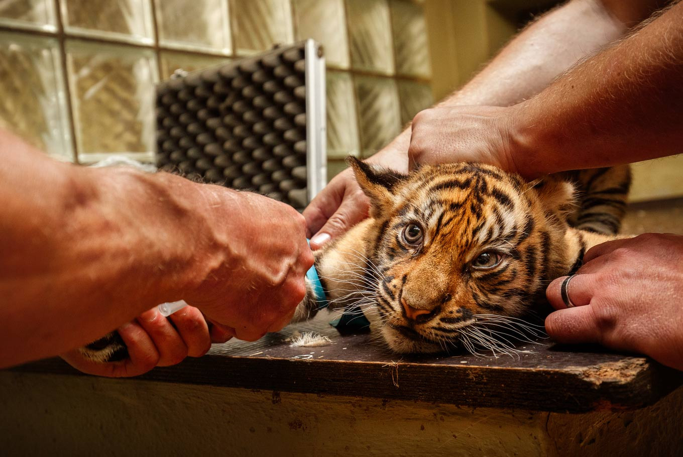 Two endangered tigers born in North Sumatra