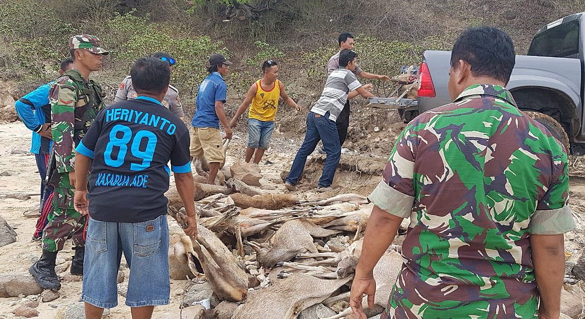 Deer from illegal hunting on Komodo Island confiscated