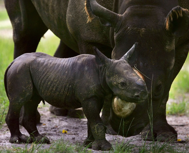 Slow growth in black rhino numbers cause for hope: Conservationists