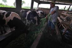 Eko feeds grass to his cattle. JP/Maksum Nur Fauzan