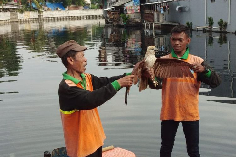 Endangered eagle falls in North Jakarta river