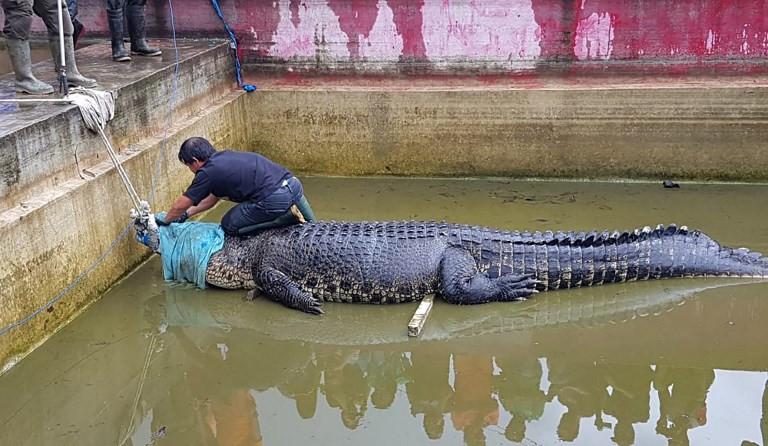 Crocodile mauls woman to death in Minahasa