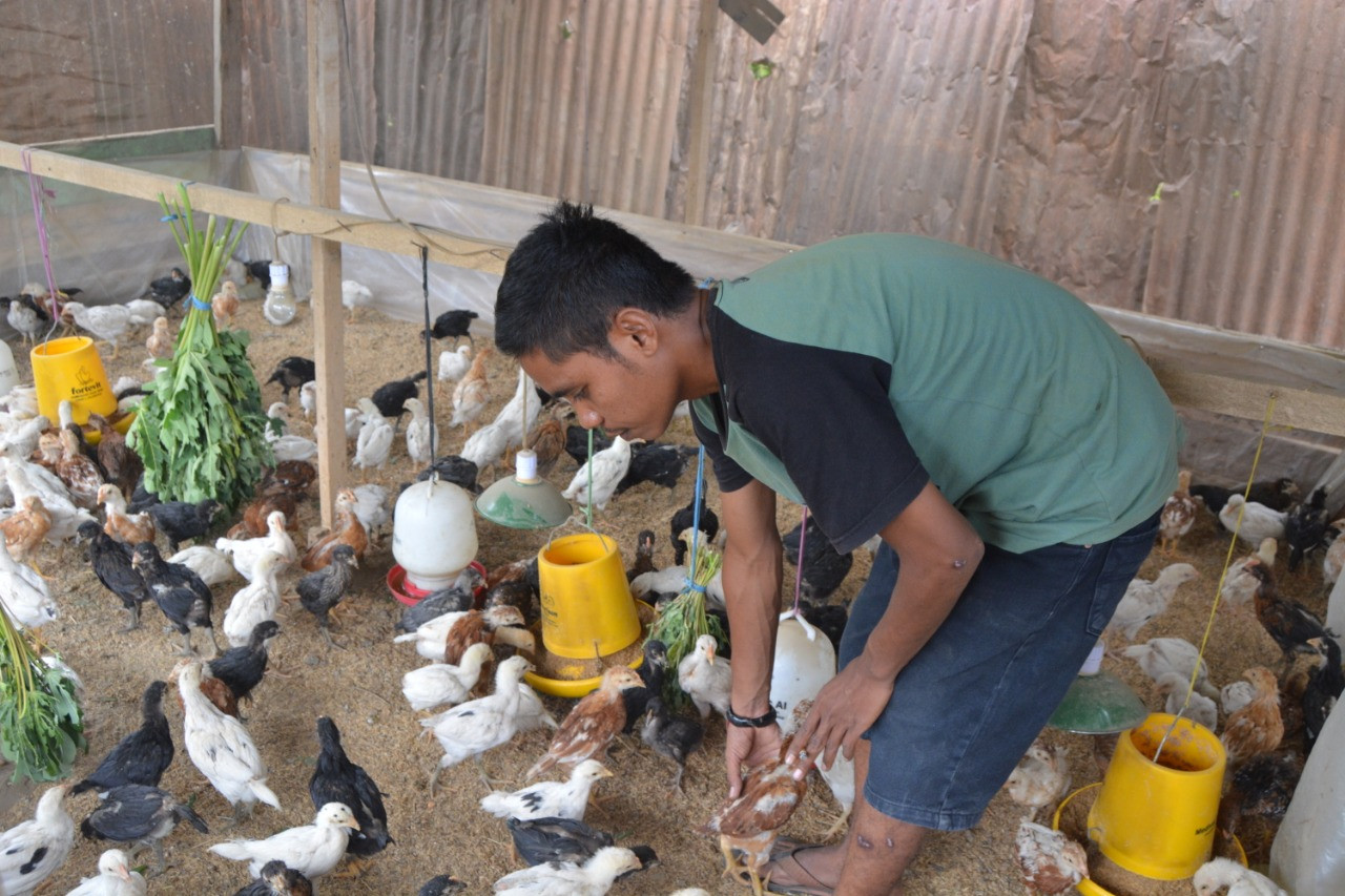 Palu inmates teach survivors how to breed chickens