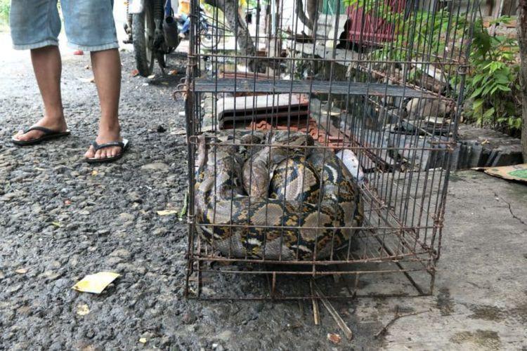Python startles, bites Bekasi resident after rain