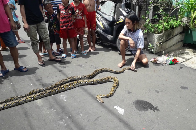 Floods sweep pythons into residential areas in Jakarta