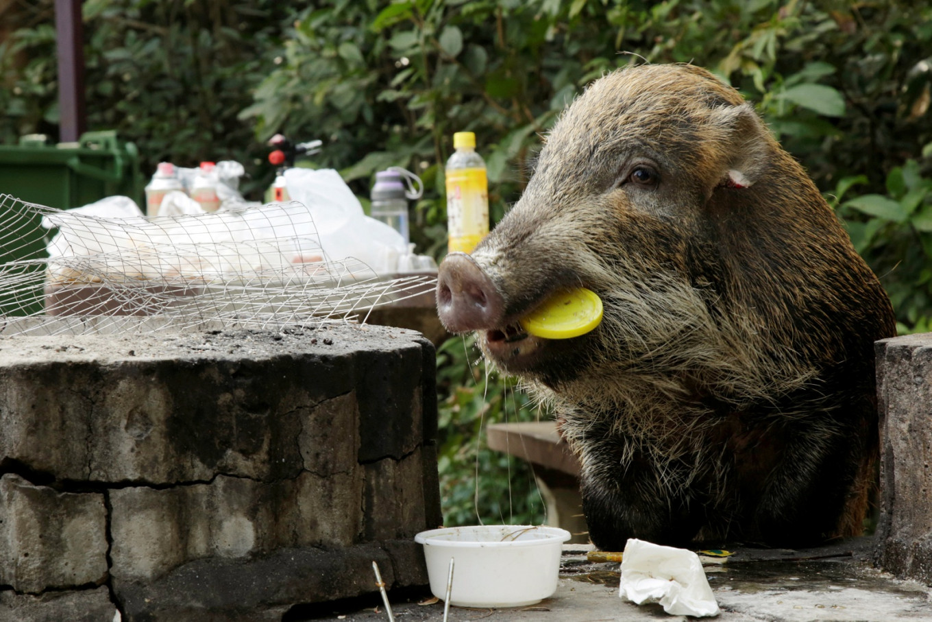 Hong Kong's wild boar dilemma in the Chinese New Year of the Pig