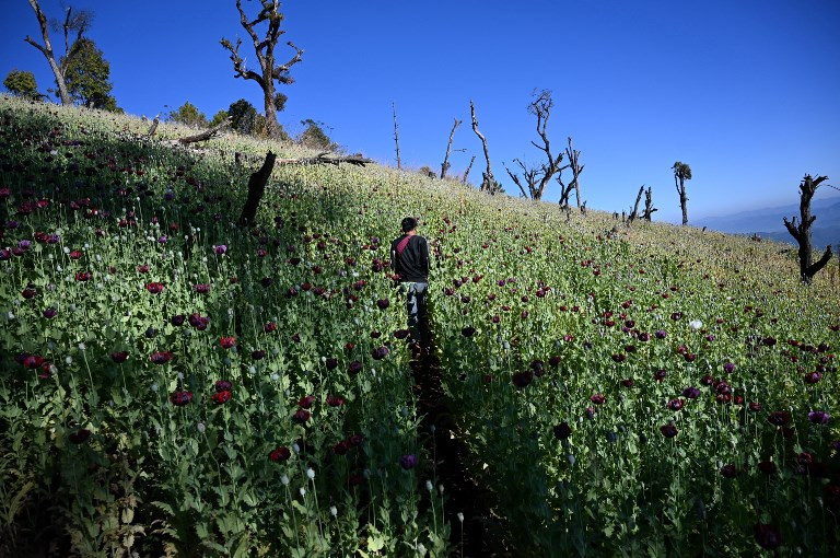 Myanmar's opium farmers cling on to lucrative crop