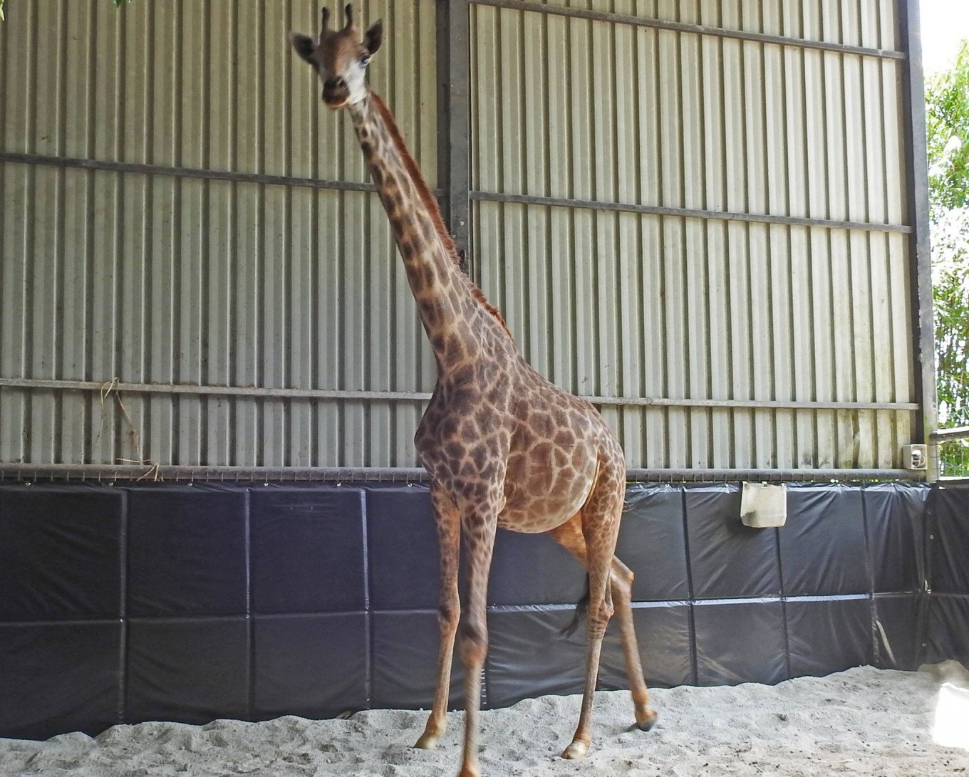 Lucy the giraffe dies while giving birth at Singapore Zoo