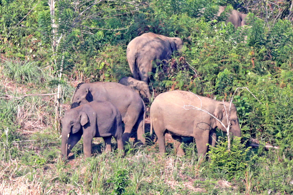 Riau sees human-elephant conflicts double in 2019