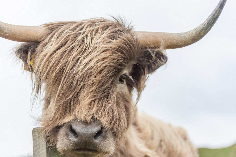 Cows get Tinder app as British breeders seek `moo love'