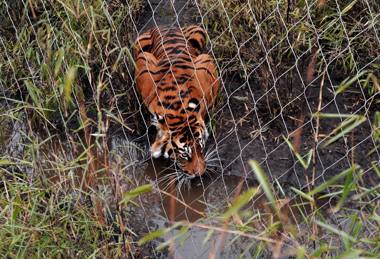 London Zoo not to blame for death of Sumatran tiger: Manager