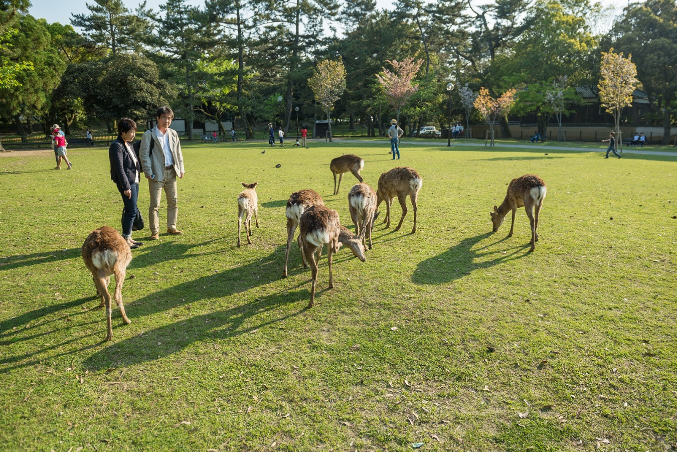Record number of visitors to Nara Park injured by deer, mostly foreigners