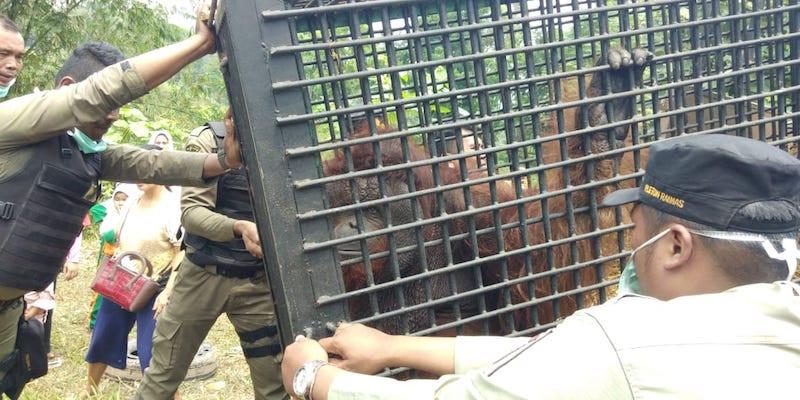 Medan Zoo swaps Sumatran tigers for Kalimantan orangutans