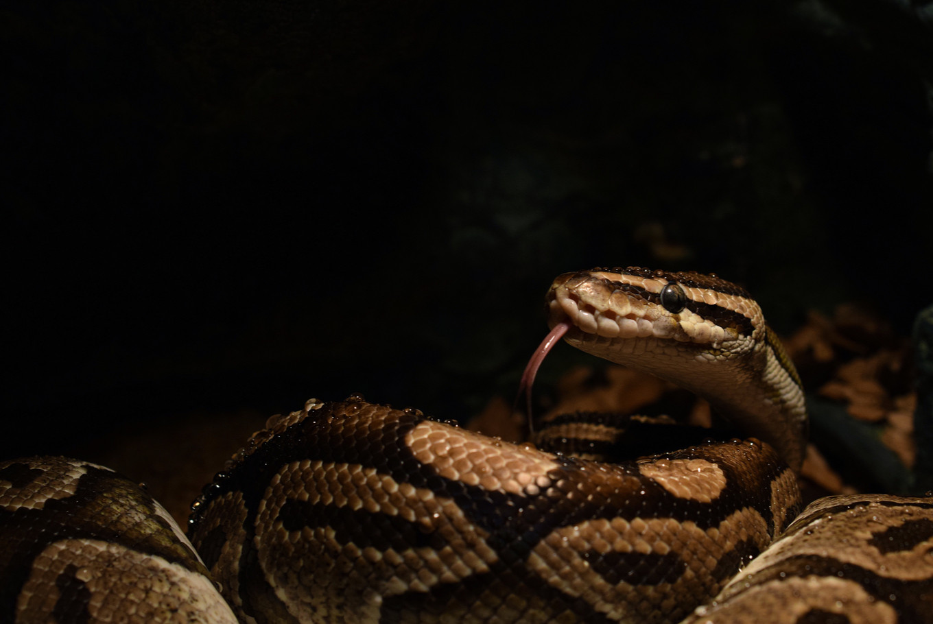 Teenager in South Tangerang dies trying to catch python